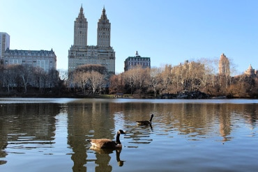 Geese on Central Park Pond New York City